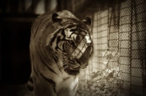 Tiger-in-cage-at-zoo1719_000